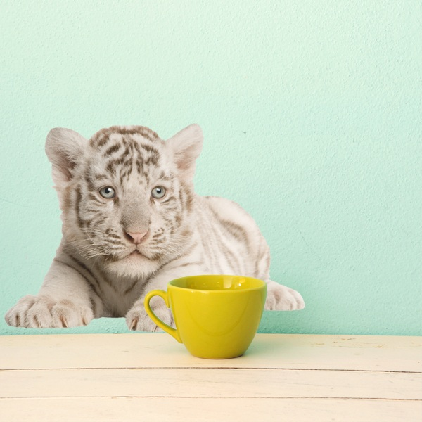 Wall Stickers: White Tiger Cub