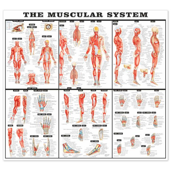 Wall Stickers: The muscular system