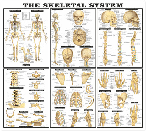 Wall Stickers: The skeletal system