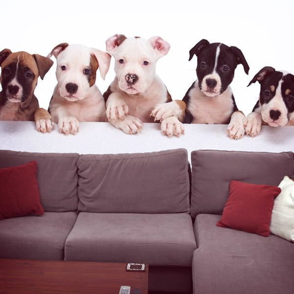 Wall Murals: Bulldog puppies
