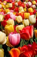 Wall Murals: Tulips 3