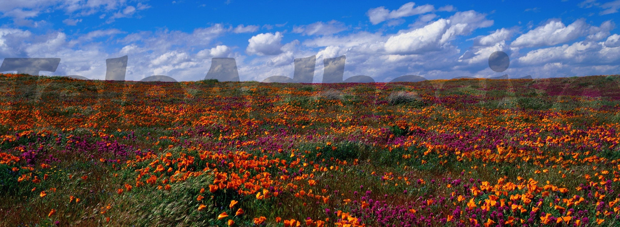 Wall Murals: Tulips fields