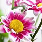 Wall Murals: White and Pink Daisy 2