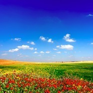 Wall Murals: Field of poppies 3
