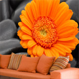Wall Murals: Orange Gerbera 4