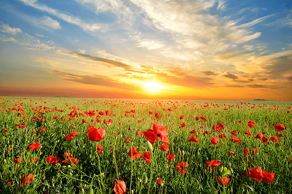 Wall Murals: Poppies at sunset